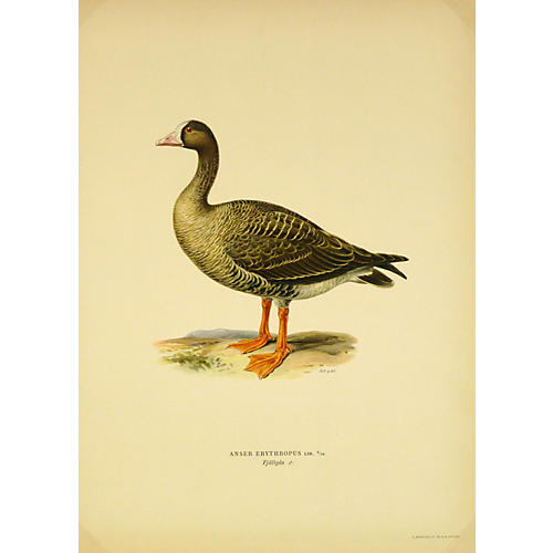 Lesser White-Fronted Goose, 1929