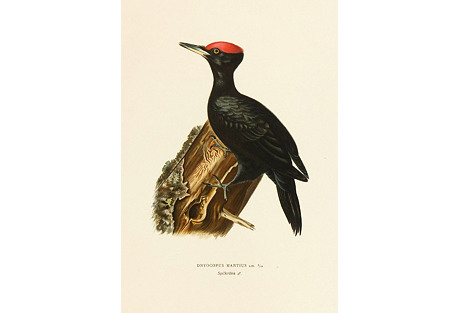 Black Woodpecker,  1929