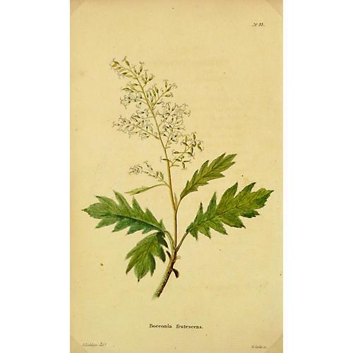White Parrot Flower, C. 1830