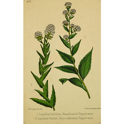 Pepperwort Flowers, C. 1870