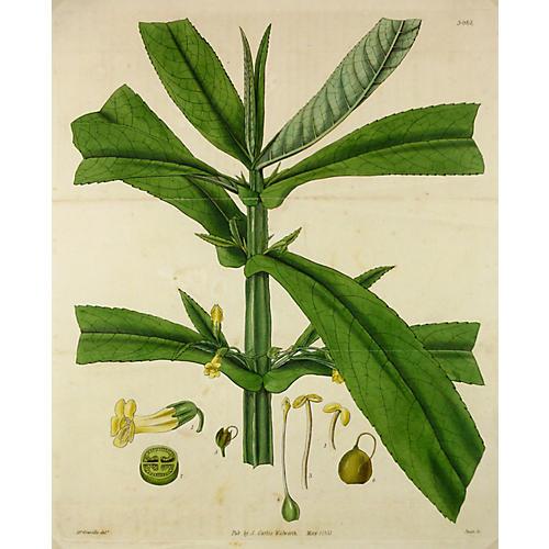 Leafy Plant Engraving, 1831