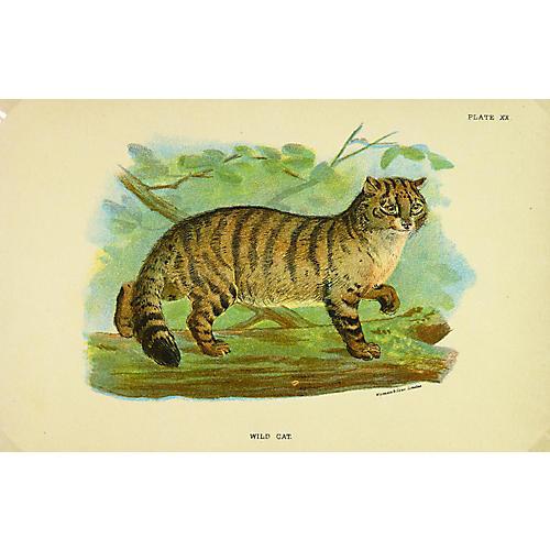 Wild Cat, 1896