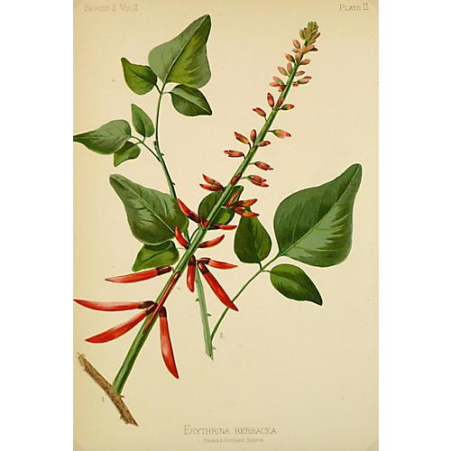 Coral Bean Flower Print