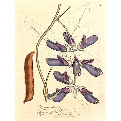 Velvet Bean, 1792