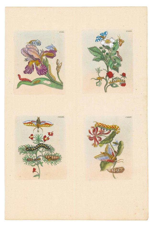 Botanical     Engraving, 1718