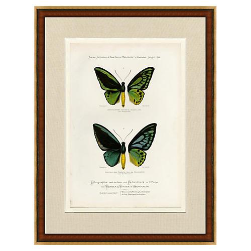 1880s Butterflies Chromolithograph