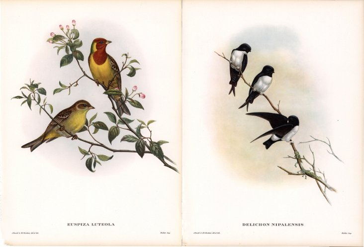 Tropical Birds by Gould,  1955, Pair