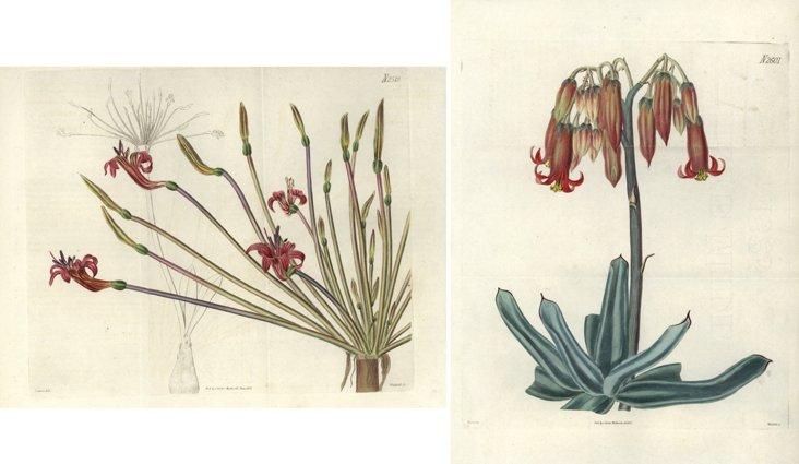 Curtis Floral Prints,  C. 1825,   Pair