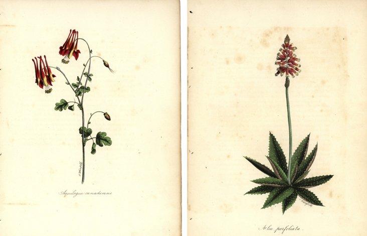 Botanical  Prints, C.  1850, Pair
