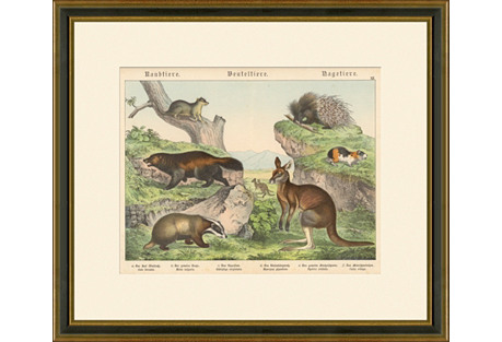 Badger, Kangaroo & Gnawing Animals, 1889