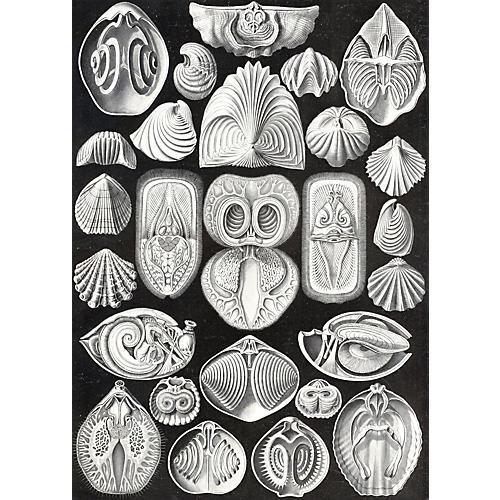 Sea Life Print by Heackel, 1899