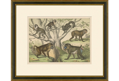 Monkeys & Baboons, 1889