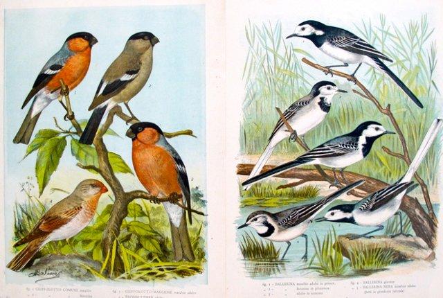 1940s Italian  Bird Lithographs, Pair