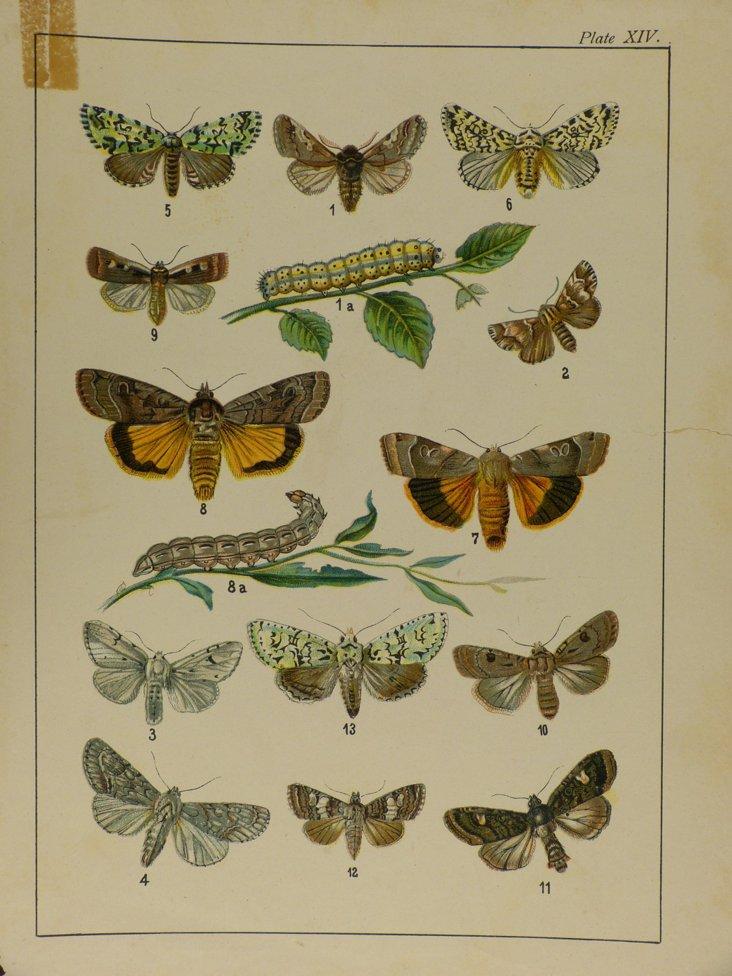 Kirby Butterfly Print VI