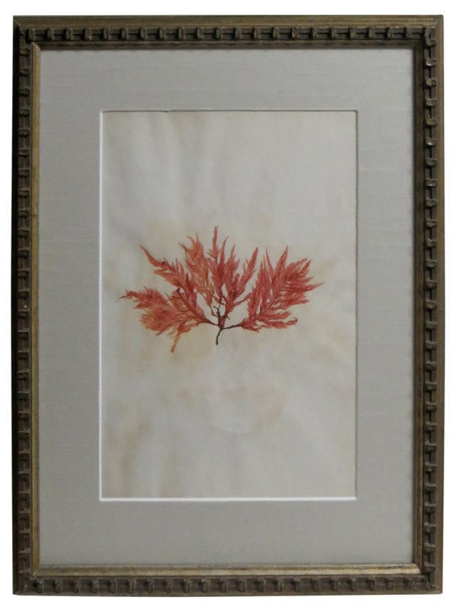 1880s Seaweed Specimen
