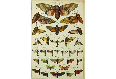 Lithograph of Moths, 1885