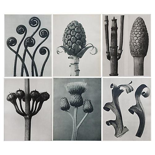 1928 K. Blossfeldt Photoengravings, S/6