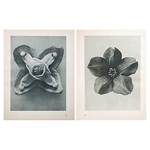 Two-Sided Photogravure by Blossfeldt