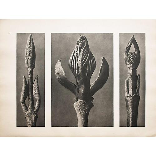 1935 Photogravure N7-8 by Blossfeldt