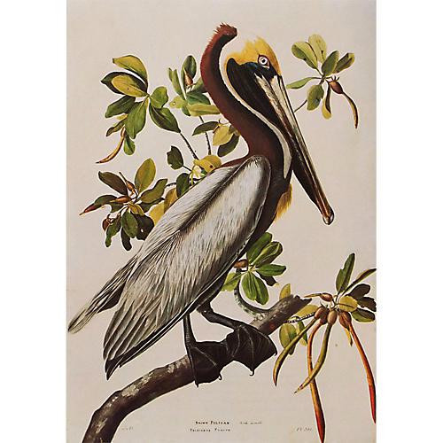 Brown Pelican by Audubon, 1966