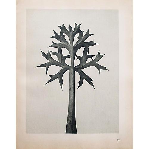1935 Photogravure N29-30 by Blossfeldt