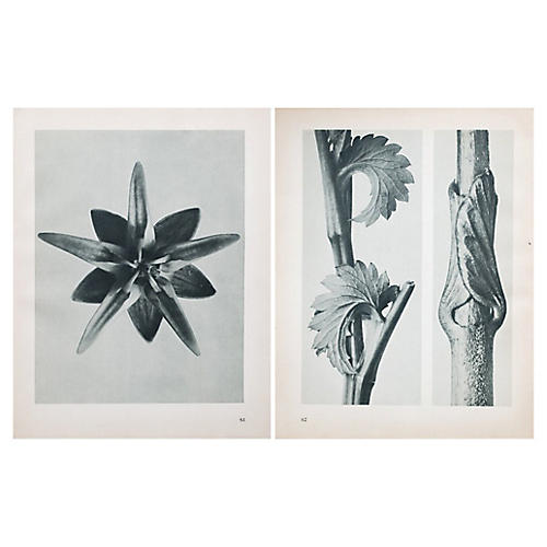 Two-Sided Photogravure by Blossfeldt