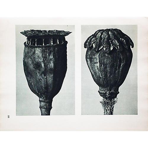 Photogravure N89-90 by Blossfeldt, 1935