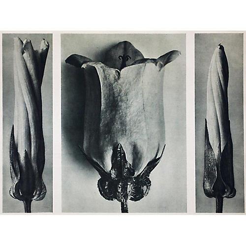 1935 Photogravure N91-92 by Blossfeldt