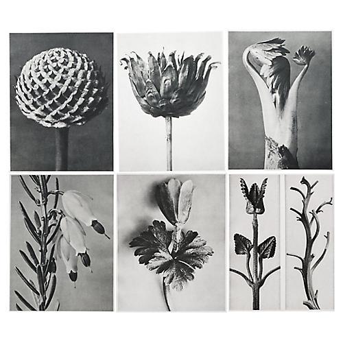 1928 Blossfeldt Photogravures, S/6