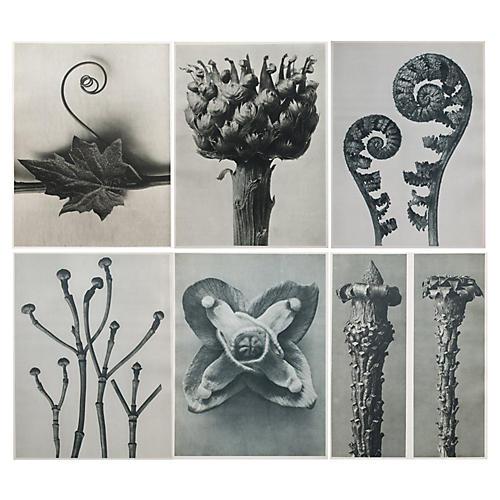 Blossfeldt Photoengravings, 1928, S/6