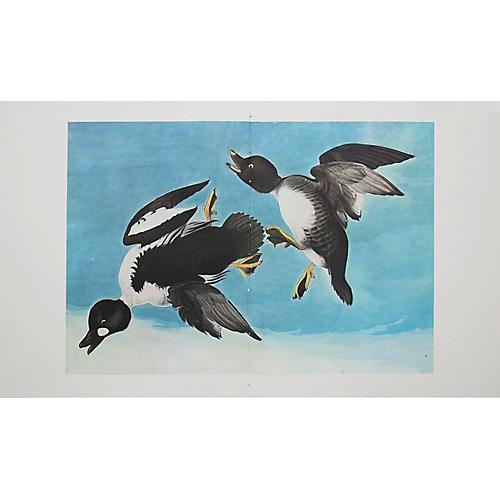 Print of Golden-Eye Duck, 1966