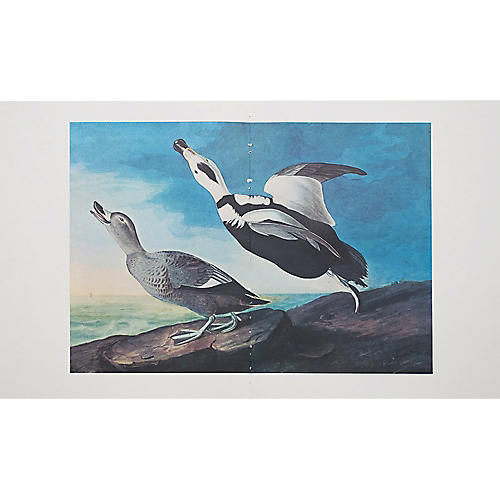 Lithograph of Labrador Ducks, 1966