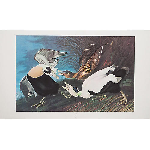 Lithograph of Eider Ducks, 1966