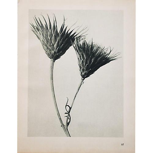 Blossfeldt Photogravure N88-87, 1935
