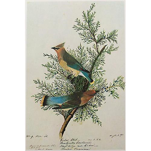 Cedar Bird Lithograph by Audubon, 1966