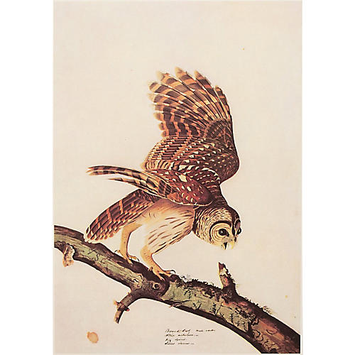 Barred Owl by Audubon, 1966