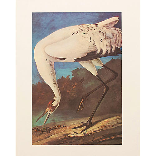 Whooping Crane by Audubon, 1966