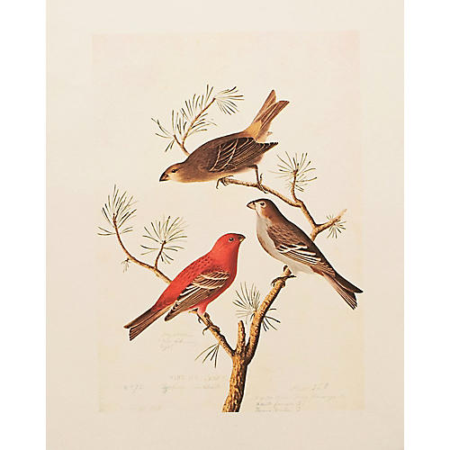 Pine Grosbeak by Audubon