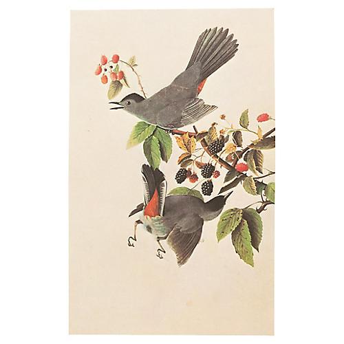 Catbird by Audubon, 1966 Lithograph