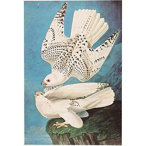 Gyrfalcon by Audubon, 1966