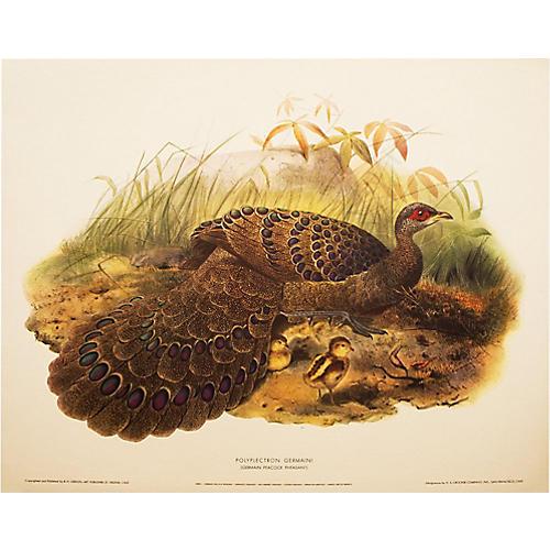 Germain Peacock Pheasant by D. Elliot