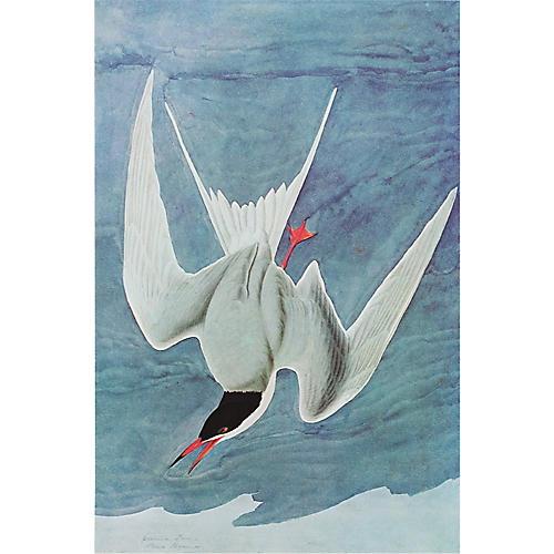 1966 Audubon, Common Tern