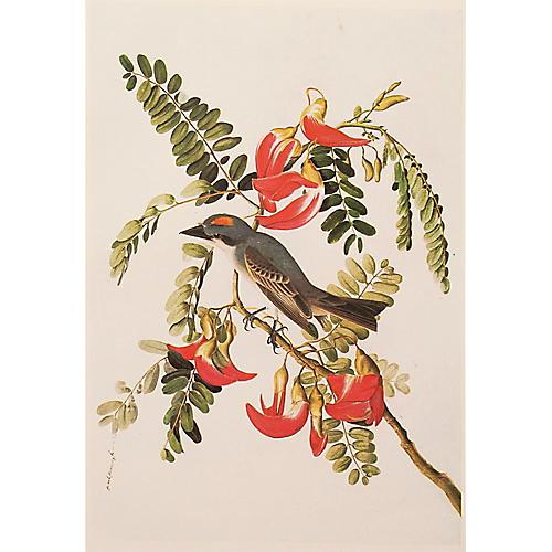 Gray Kingbird by Audubon, 1966