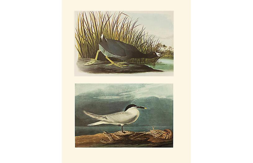 American Coot & Sandwich Tern by Audubon