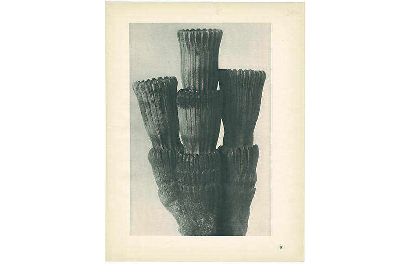 1928 Winter Horsetail by K. Blossfeldt