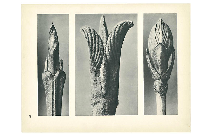 1928 Karl Blossfeldt, Photogravure N10