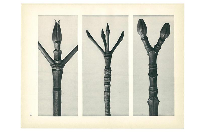 1928 Karl Blossfeldt, Cornus Nuttallii