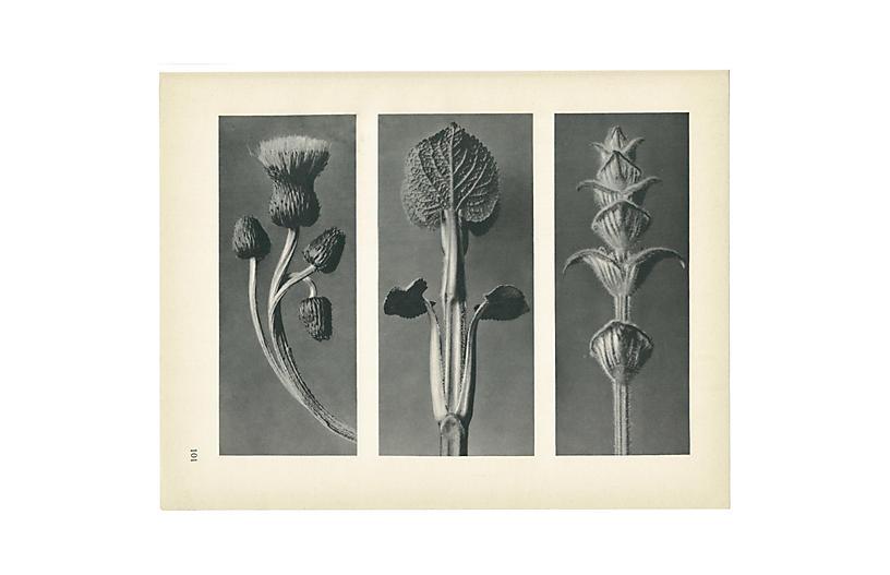 1928 Karl Blossfeldt, Photogravure N101