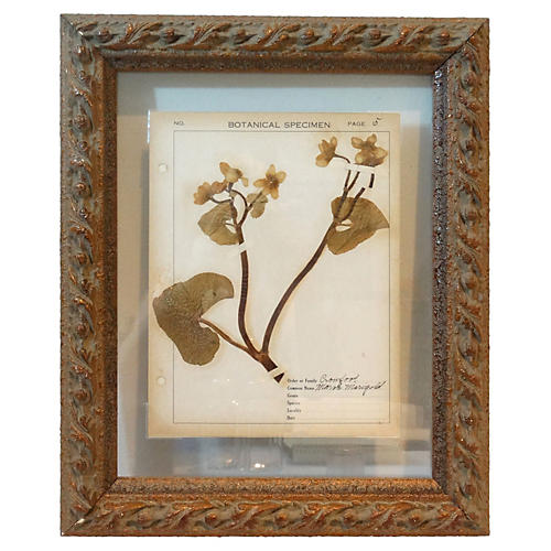 Pressed Botanical w/Field Notes, C. 1910