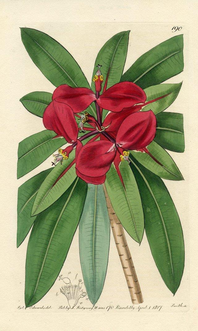 Tropical Poinsettia Print, 1817